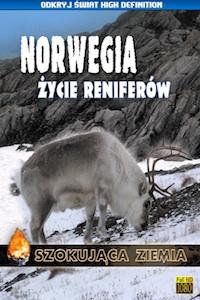 Norwegia. Życie reniferów